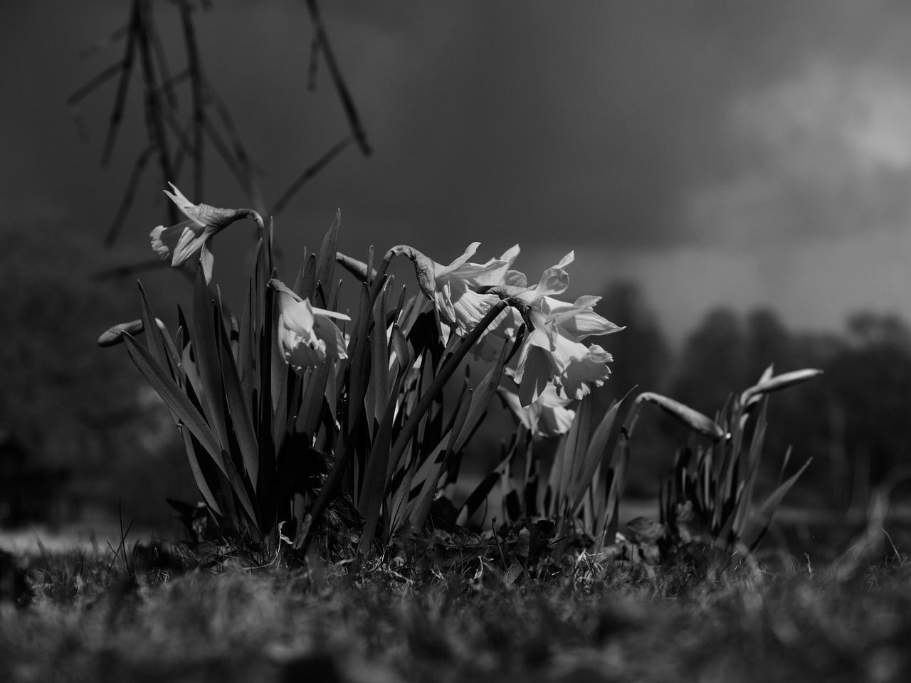 Daffodils? ☺ Flower Growth Plant Beauty In Nature Nature Petal No People Grass Field Flower Head Fragility Snowdrop Day Outdoors Freshness Blooming Close-up Lilies Black & White Black And White Monochrome Shallow Depth Of Field