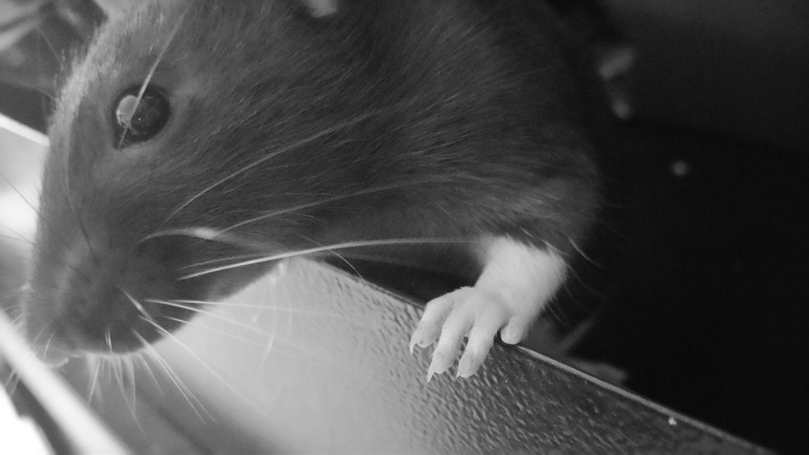 Ratsrule PetRat Kjæledyr Ratlover Ratlove Blackandwhite Pet Photography