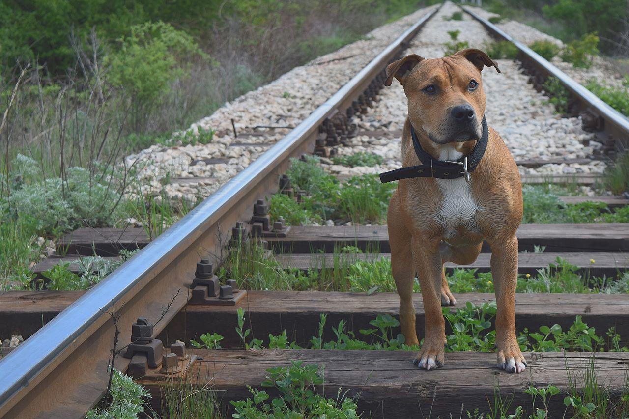 Beautiful stock photos of pitbull, Animal Themes, Bulgaria, Close-Up, Day