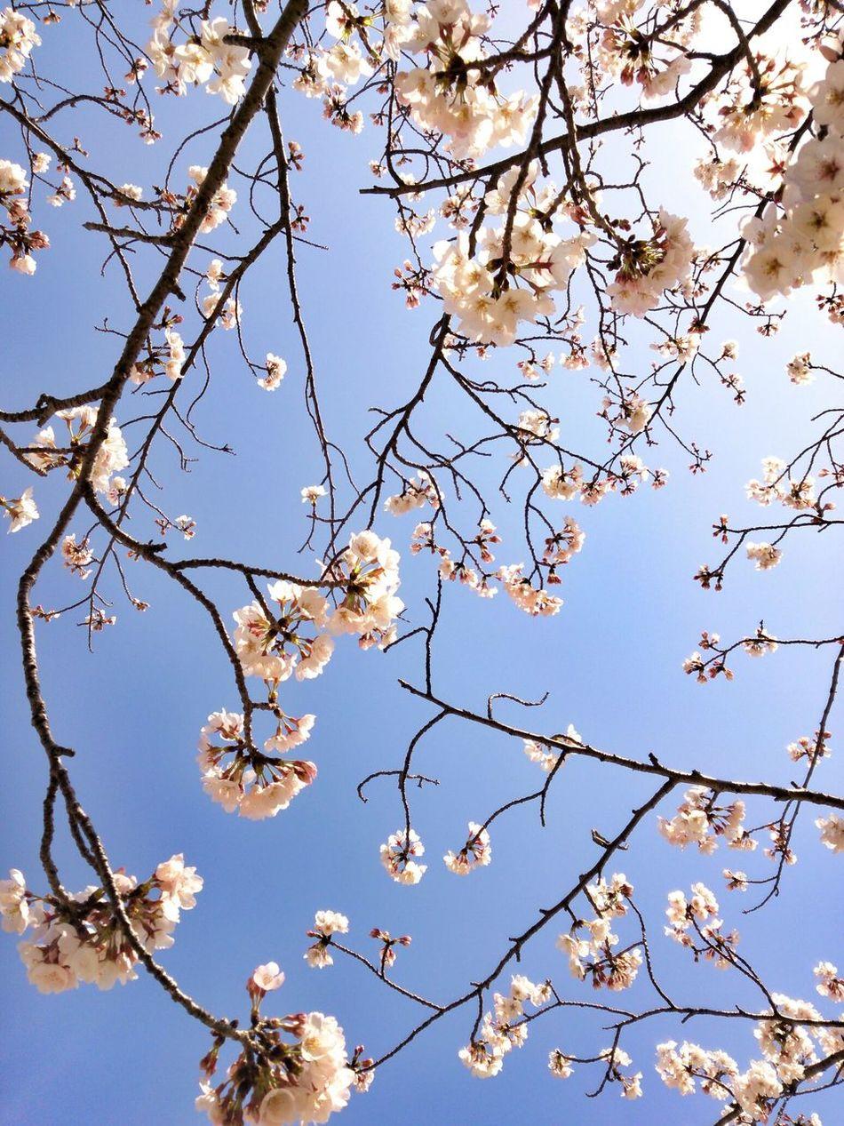 Beautiful stock photos of cherry, Blue, Cherry Blossom, Cherry Tree, Clear Sky