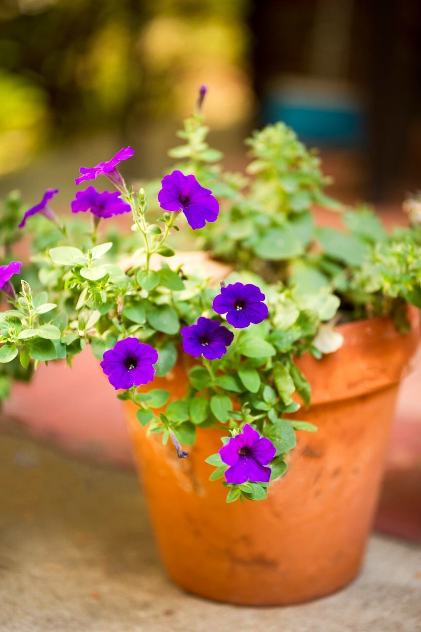 flower, growth, potted plant, plant, purple, fragility, nature, freshness, focus on foreground, close-up, beauty in nature, no people, day, outdoors, flower head