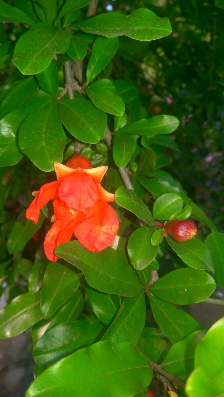 leaf, flower, growth, beauty in nature, petal, red, nature, plant, freshness, green color, fragility, blooming, day, outdoors, no people, flower head, close-up, hibiscus