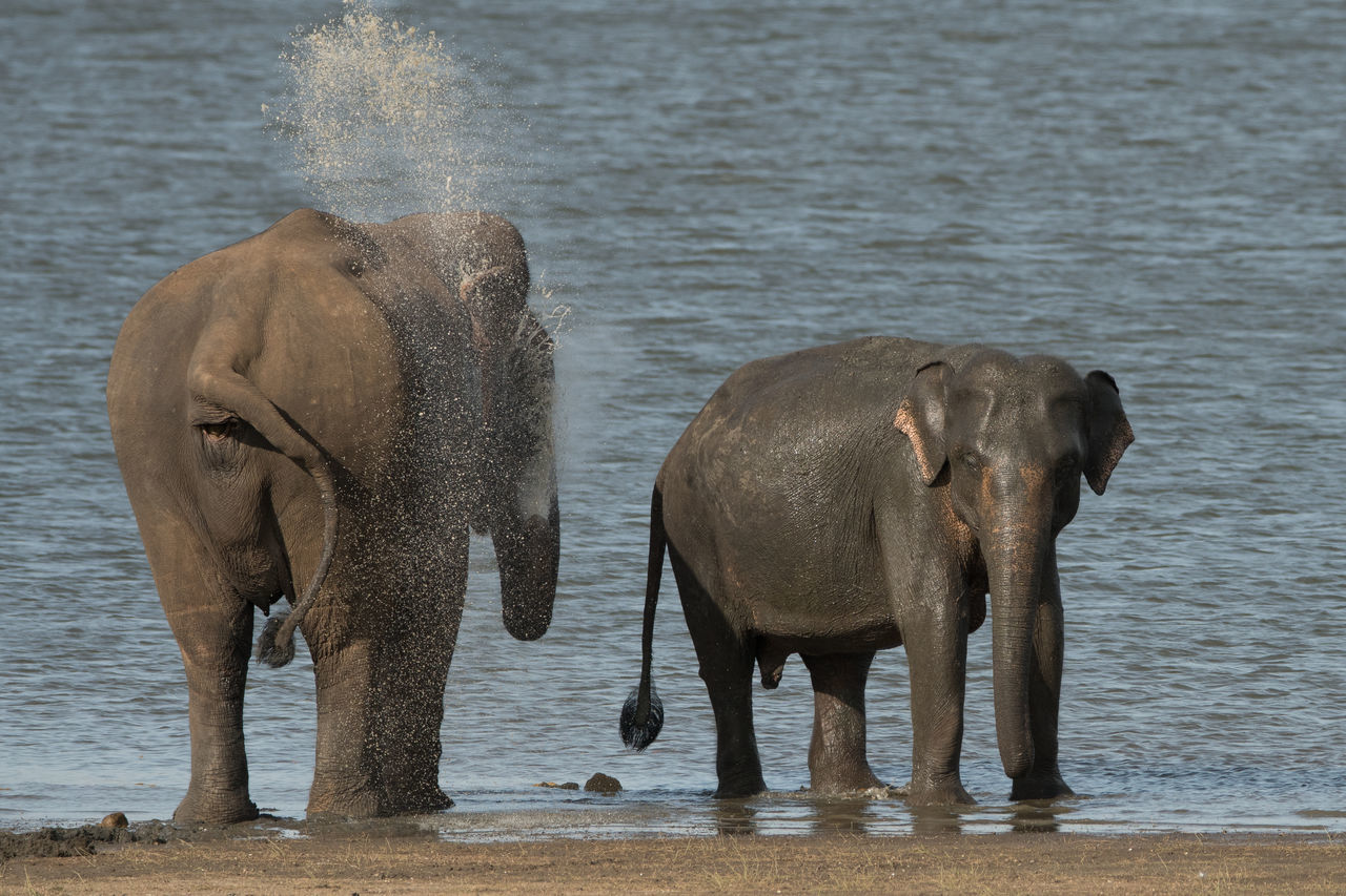 Wild Elephants In Sri Lanka Animals Beauty In Nature Big Animals Big Ears Cute Ears Elephant Elephant Calf Elephant Herd Forget Hunting India Indian Elephant Mammal Natural World Nellie No Person Safari Splash Sri Lanka Sunny Trunk Tusks Wildlife Wrinkled