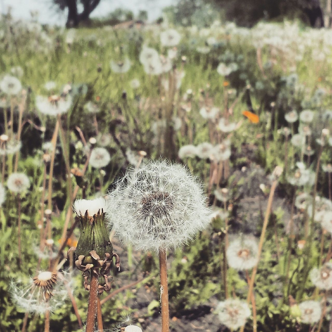 flower, dandelion, fragility, growth, nature, plant, uncultivated, flower head, softness, freshness, focus on foreground, wildflower, seed, close-up, beauty in nature, outdoors, day, no people