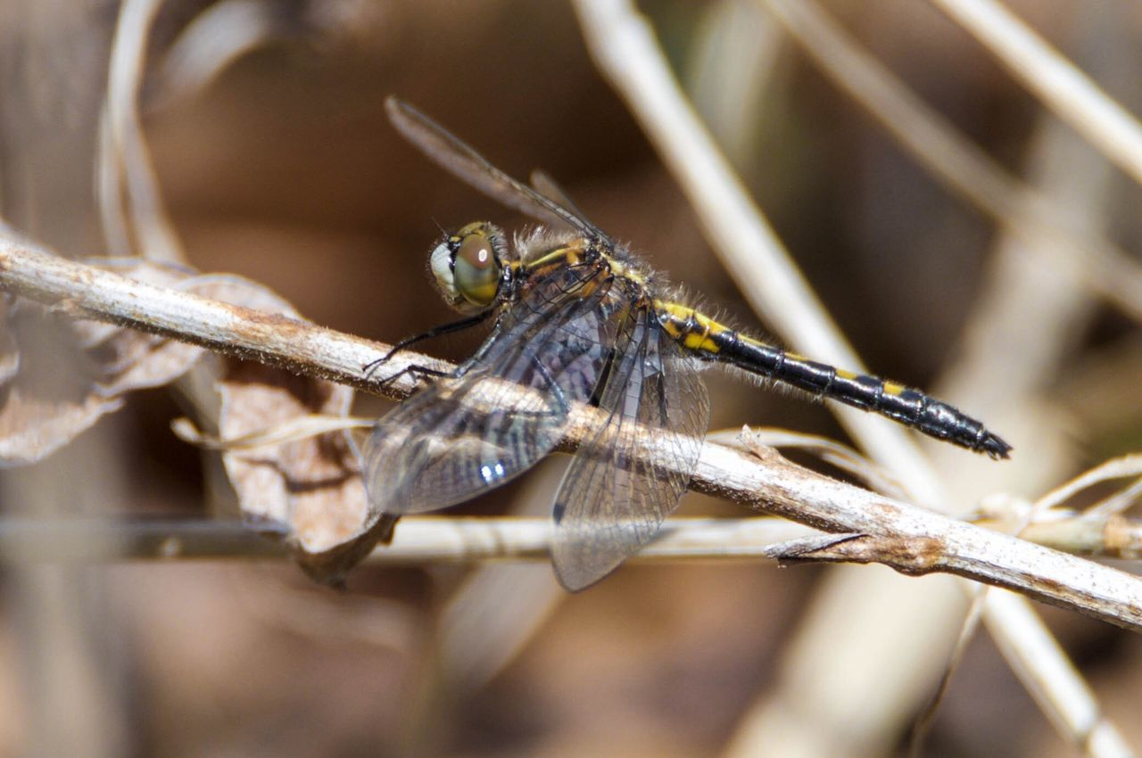 First dragonfly of the year Check This Out Toronto Hiking Spring Rouge Park Dragonfly Nature