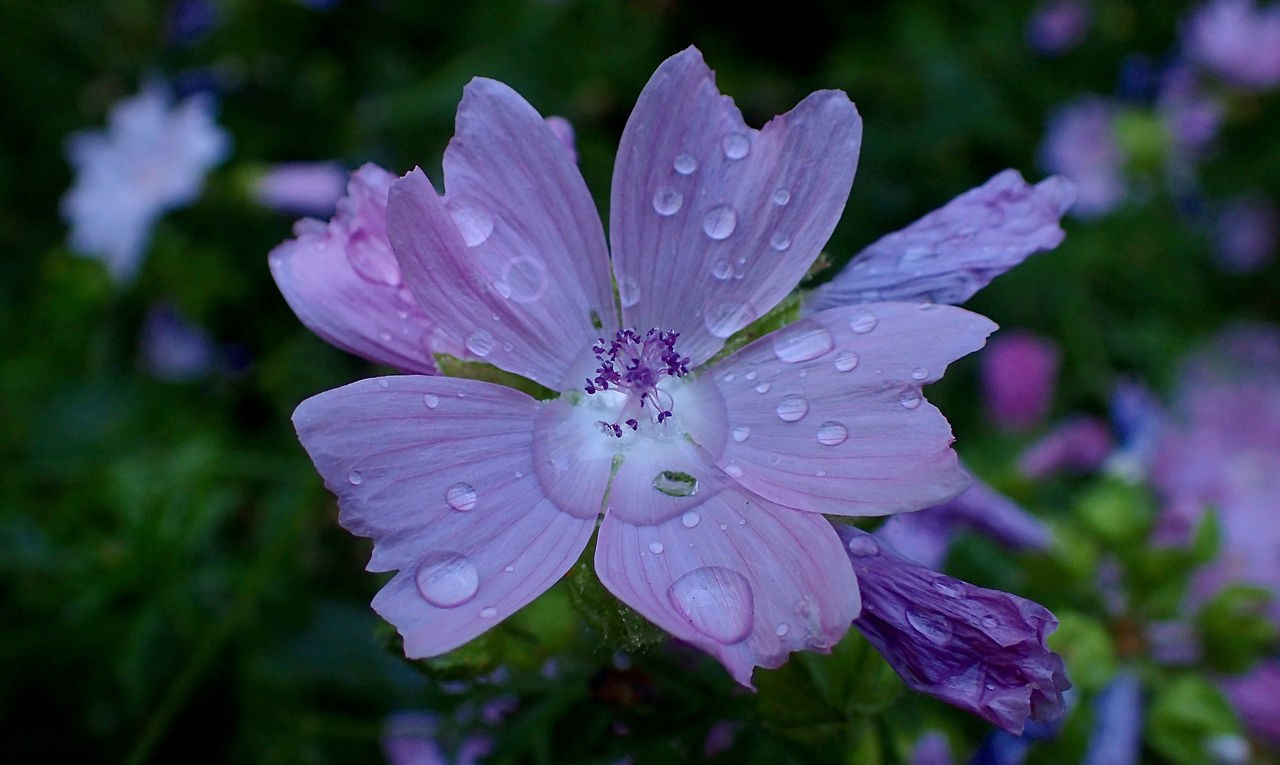 drop, wet, petal, nature, flower, water, fragility, beauty in nature, flower head, growth, close-up, outdoors, day, focus on foreground, raindrop, no people, blooming, plant, freshness, periwinkle