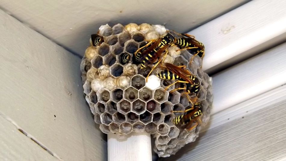 Paper Wasp Wasp Nest Wasp At Work Wasp Close Up Wasp Larvae Larva  Wasps Wasps Nest Black And Yellow Pattern Black And Yellow Markings Wasp Hive Insect Photography Insects Collection Closeupshot Close Up Photography Flying Insect Winged Insect Wasps At Work