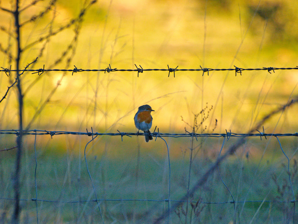 Animal Animal Themes Animals Animals In The Wild Animals In The Wild Barbed Wire Beauty In Nature Bird Bird Photography Birds Countryside Day Environment Erithacus Erithacus Rubecula Nature Nature No People One Animal Outdoors Perching Robin Wildlife