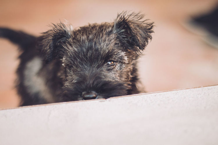 Little One Aniamls Animal Portrait Animal Themes Baby Button Eyes Canon EOS 70D Close-up Countryside Dog Dog Portrait Domestic Animals Little One Looking At Camera Luna Mammal No People One Animal Outdoors Pet Pets Playing Portrait Puppy Schnauzer Woof