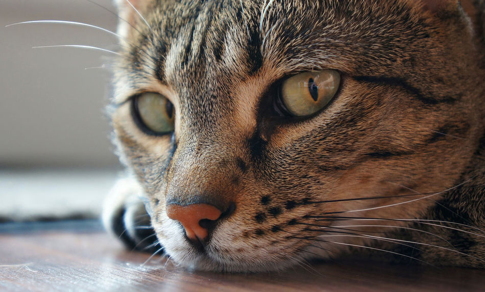 Beautiful stock photos of frankfurt, Animal Eye, Animal Head, Animal Themes, Cat