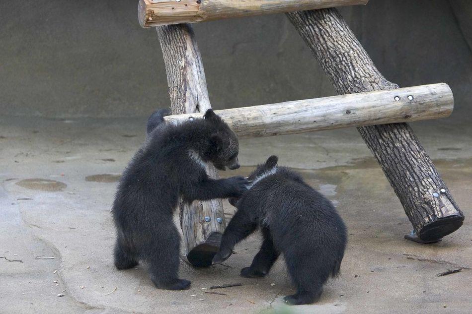 Beautiful stock photos of bear, Animal Themes, Animals In The Wild, Bear, Bear Cub