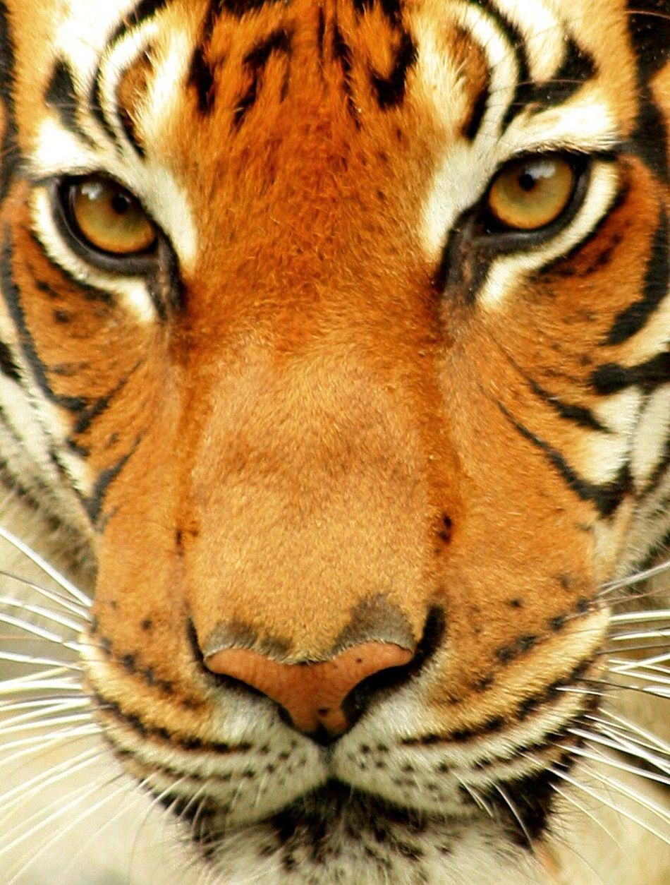 One Animal Animal Themes Feline Close-up Domestic Cat Mammal Whisker No People Big Cat Carnivora Domestic Animals Tiger Pets Animal Eye Day Outdoors Leopard Looking At Camera Look Me In The Eyes Streangth Focused