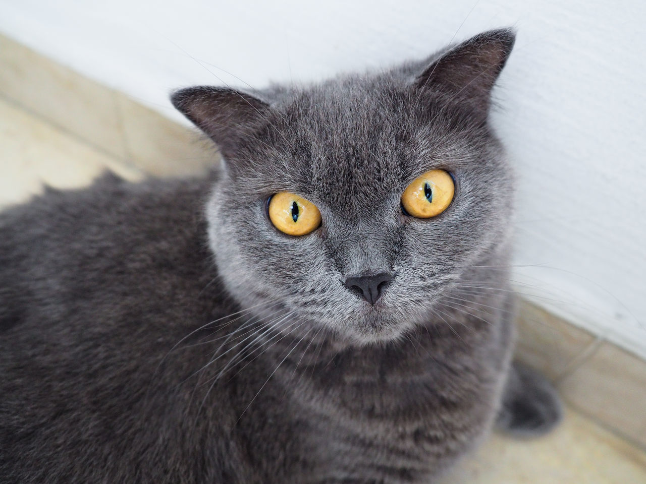 High Angle Portrait Of Gray Cat At Home