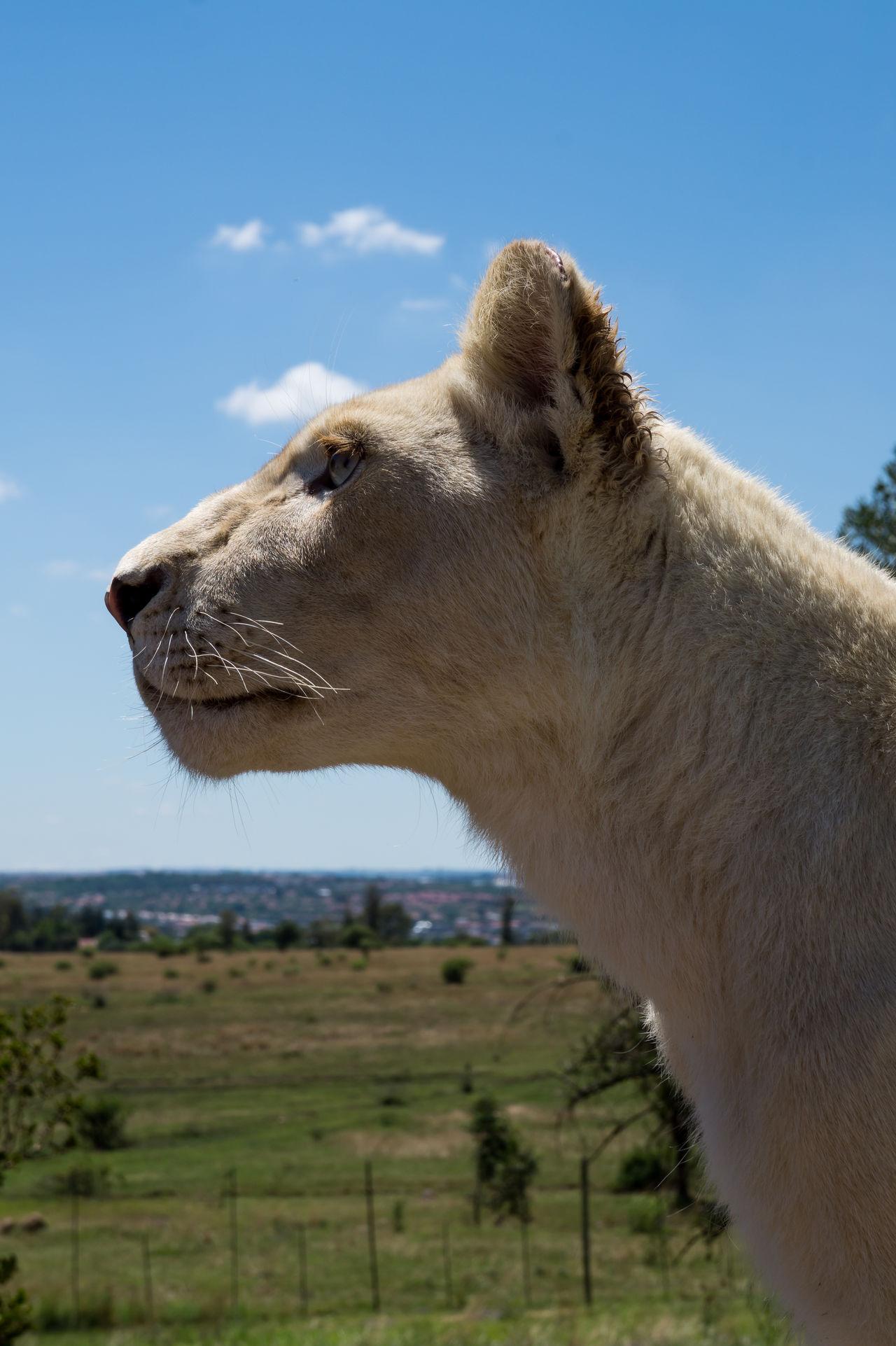 Beautiful stock photos of löwe, Animal Body Part, Animal Head, Animal Themes, Animal Wildlife