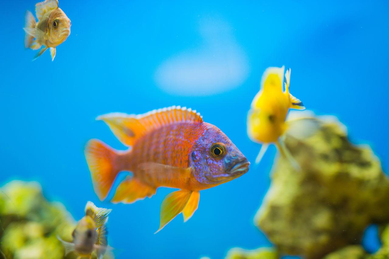 Animal Themes Aquarium Fish No People Swimming Water