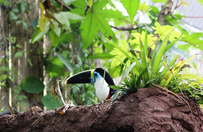 Diostede Tucan Ave De Colores Beauty In Nature Bird Day Diostede Focus On Foreground Nature Ramphastos Selective Focus Tucan Tucano