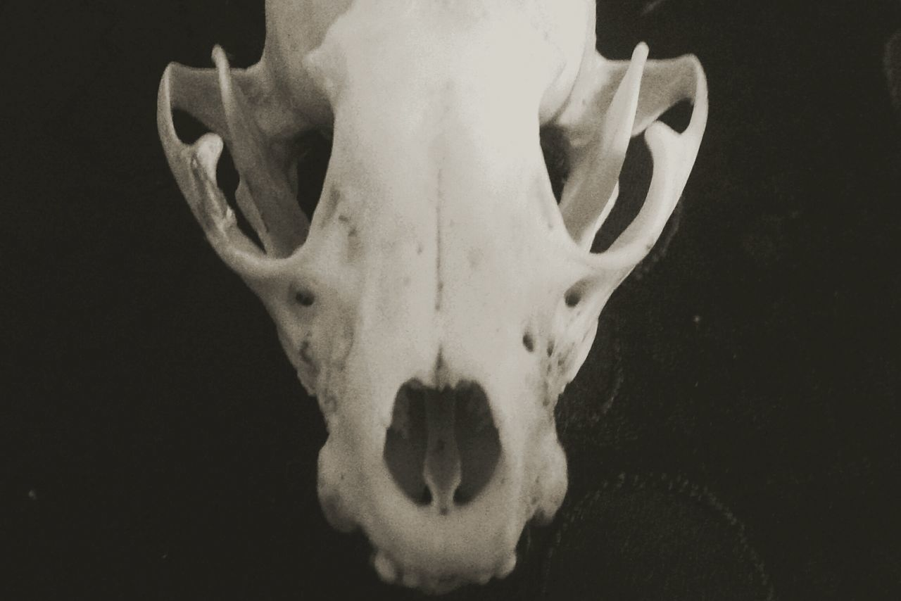 Human Body Part Black Background Close-up Skull Animal Animal Wildlife Animal Head  Animal Skulls Skeletons Vintage Taxidermy Bones Dead Animal Creepy Odd Wierd Blackandwhite Photography