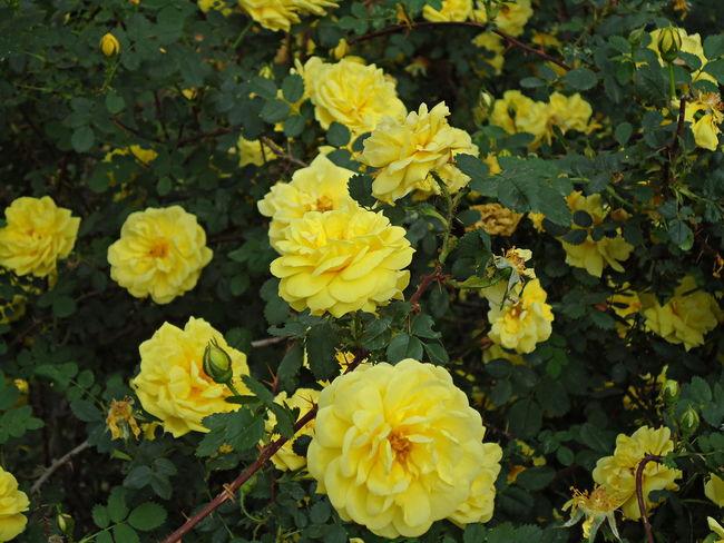 Flowers Foetida Luted May Novorossiysk Roses Persian Yellow Persiana Roses Shrub Shrub Roses Spring Spring Flowers Yellow Yellow & Green Yellow Roses