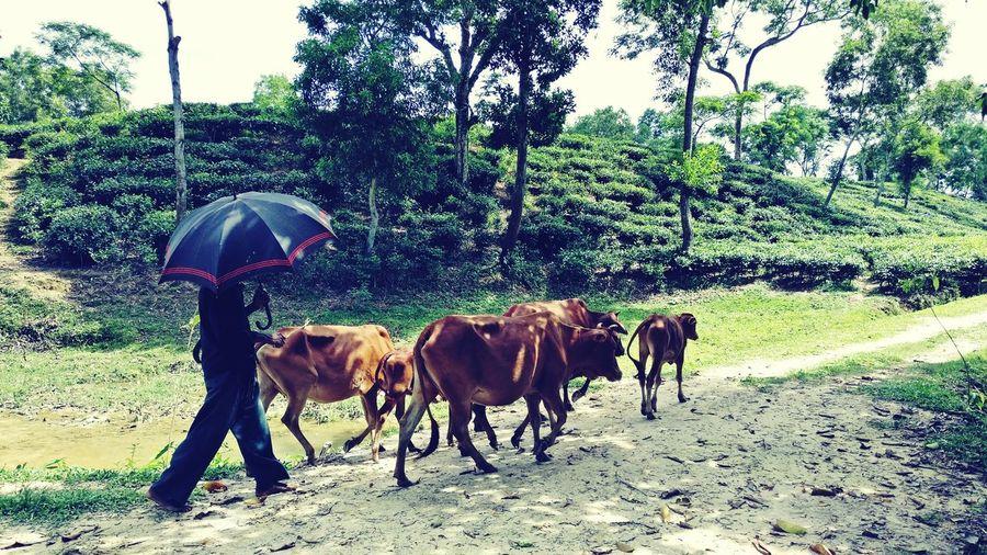 Cowboy BeautifulBANGLADESH Sylhet Teagarden Beauty In Nature Cows Cattle
