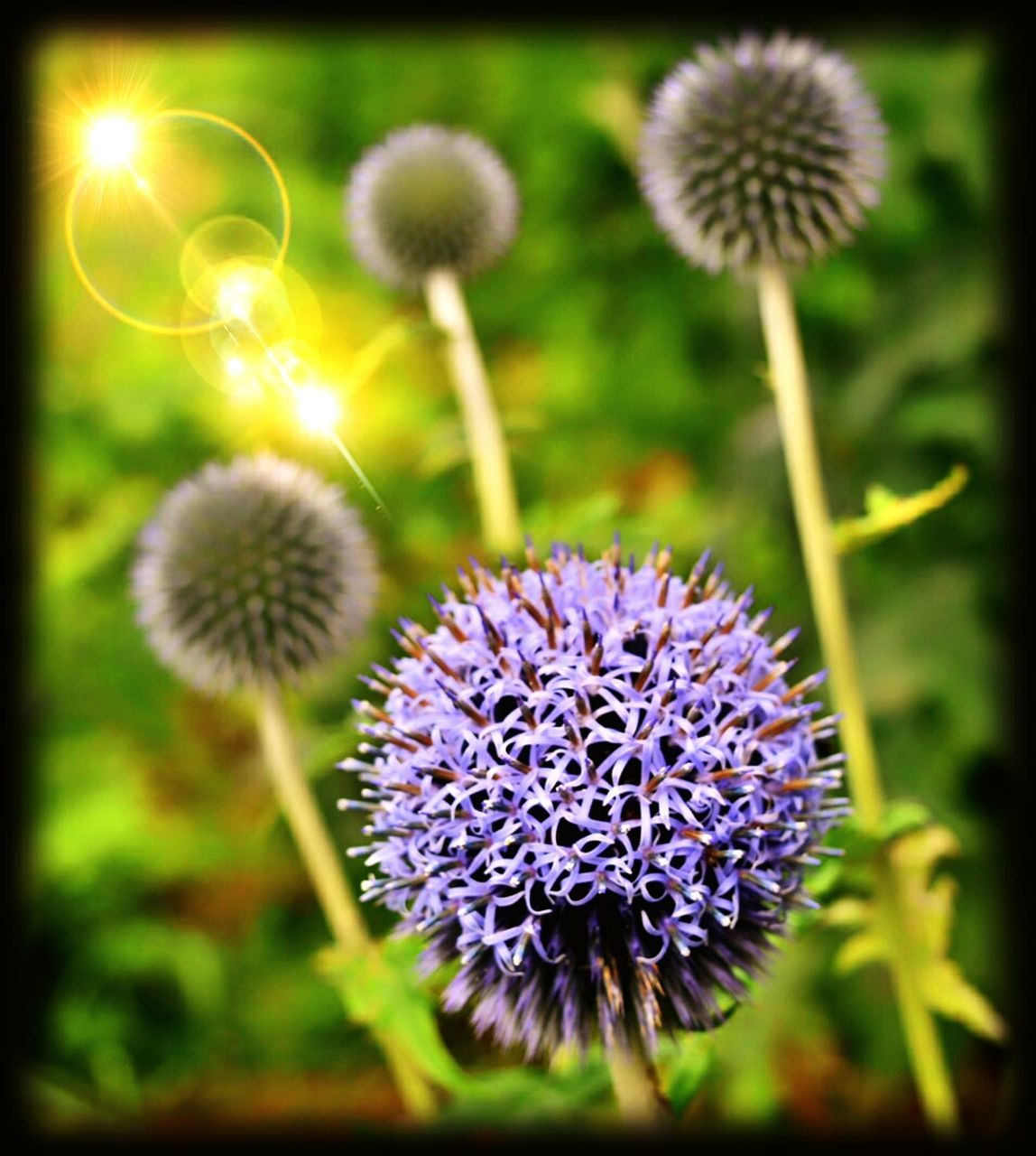 flower, growth, nature, plant, beauty in nature, no people, thistle, flower head, close-up, fragility, outdoors, day, freshness