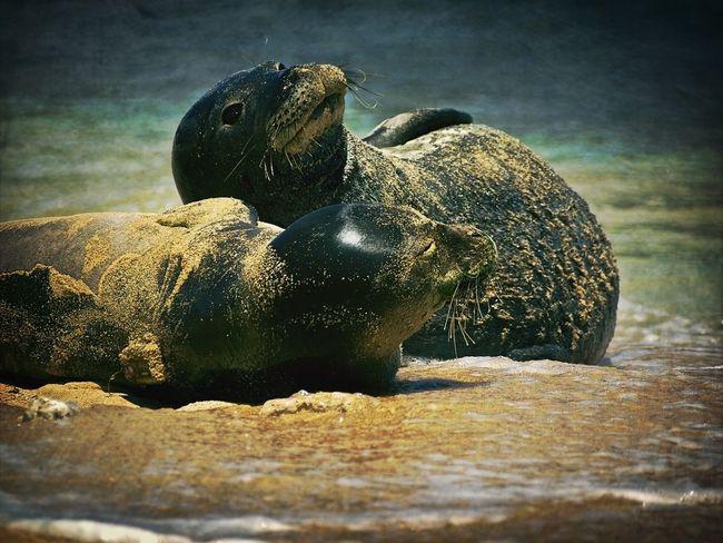 Sea Life Hawaiian Monk Seal Heartbeat Moments
