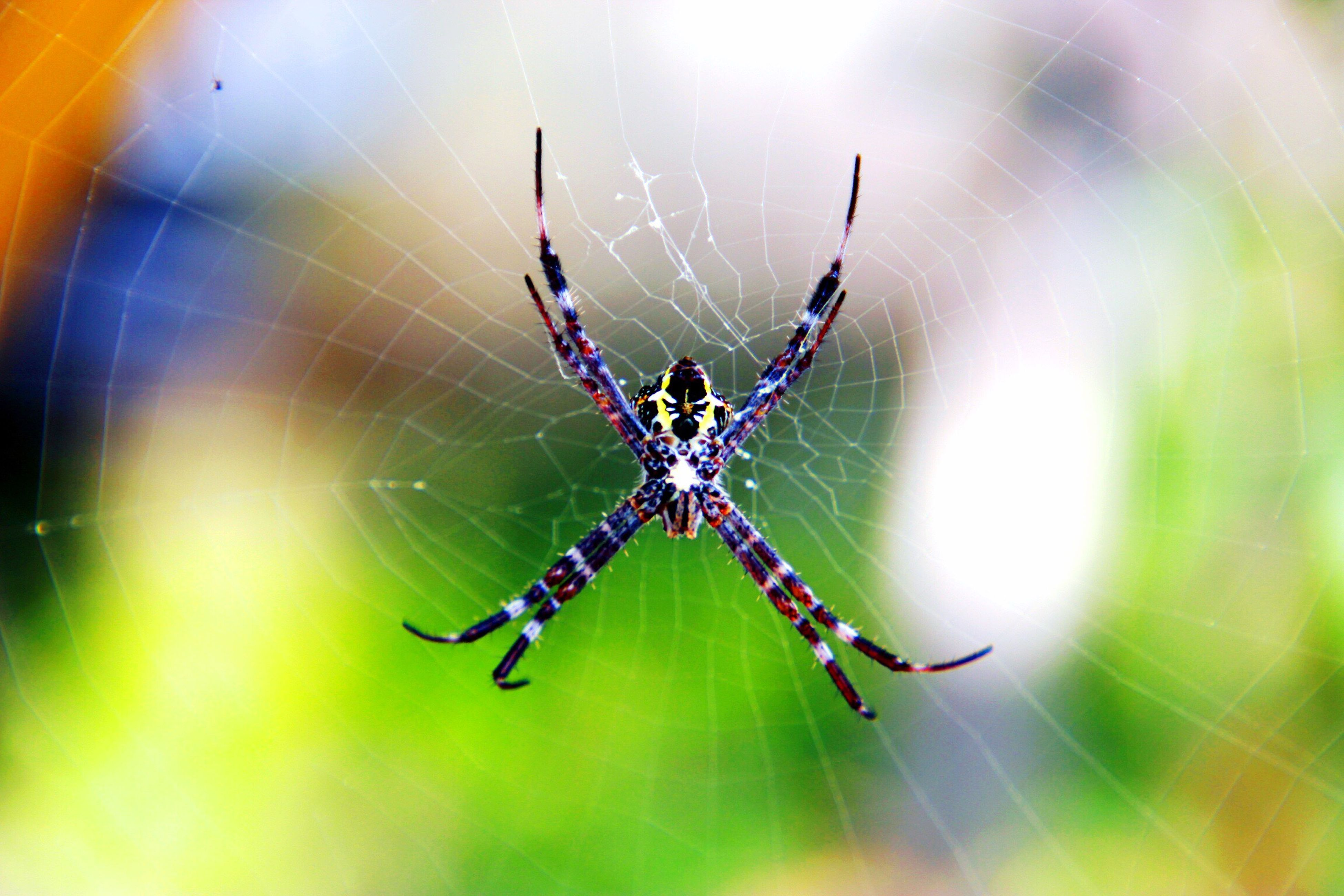 animal themes, insect, one animal, animals in the wild, wildlife, spider web, spider, focus on foreground, close-up, animal markings, natural pattern, selective focus, animal wing, arachnid, spinning, full length, nature, web, no people