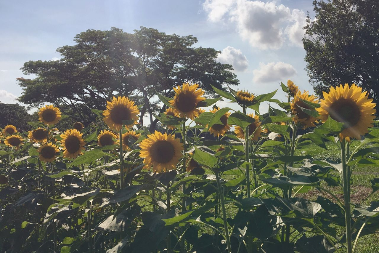 Beautiful stock photos of sunflower,  Blooming,  Botany,  Cloud - Sky,  Day