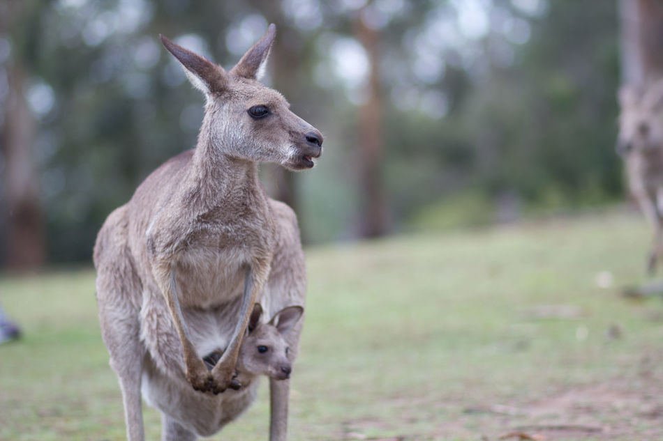 Beautiful stock photos of kangaroo, Animal Themes, Animals In The Wild, Baby, Day