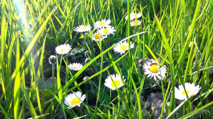 White Flowers Grass Nature Nature Photography Blossoms  Spring Spring Flowers Spring Has Arrived Relaxing Beautiful Day Grass And Flowers Flowers