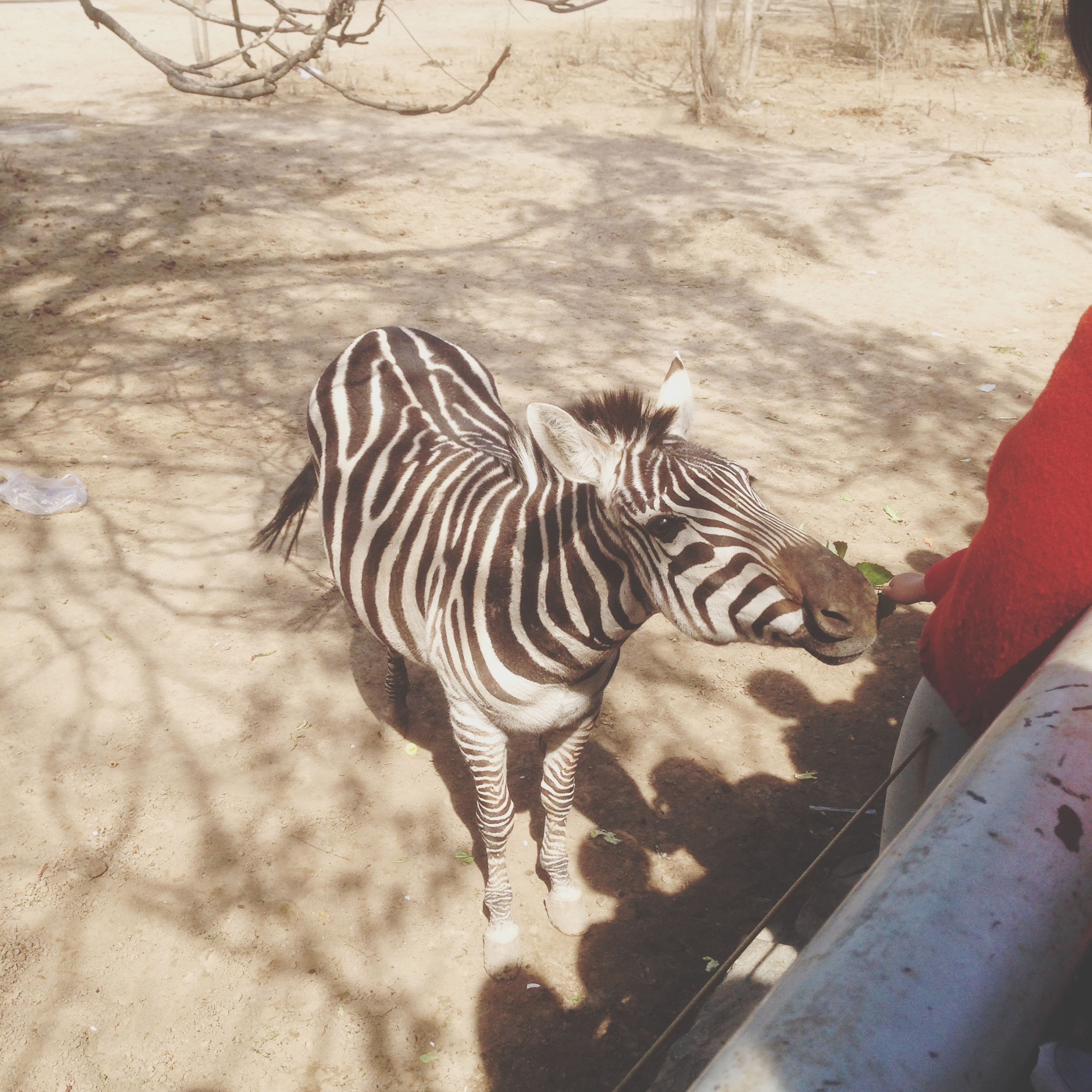 animal themes, one animal, animals in the wild, wildlife, mammal, striped, animal markings, high angle view, zebra, zoo, full length, safari animals, zoology, nature, natural pattern, standing, outdoors, day, no people, sunlight