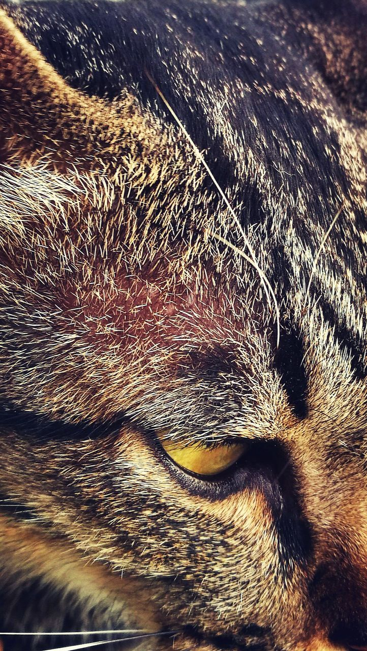 one animal, animal themes, domestic animals, pets, mammal, animal head, close-up, animal body part, no people, domestic cat, feline, indoors, day, nature