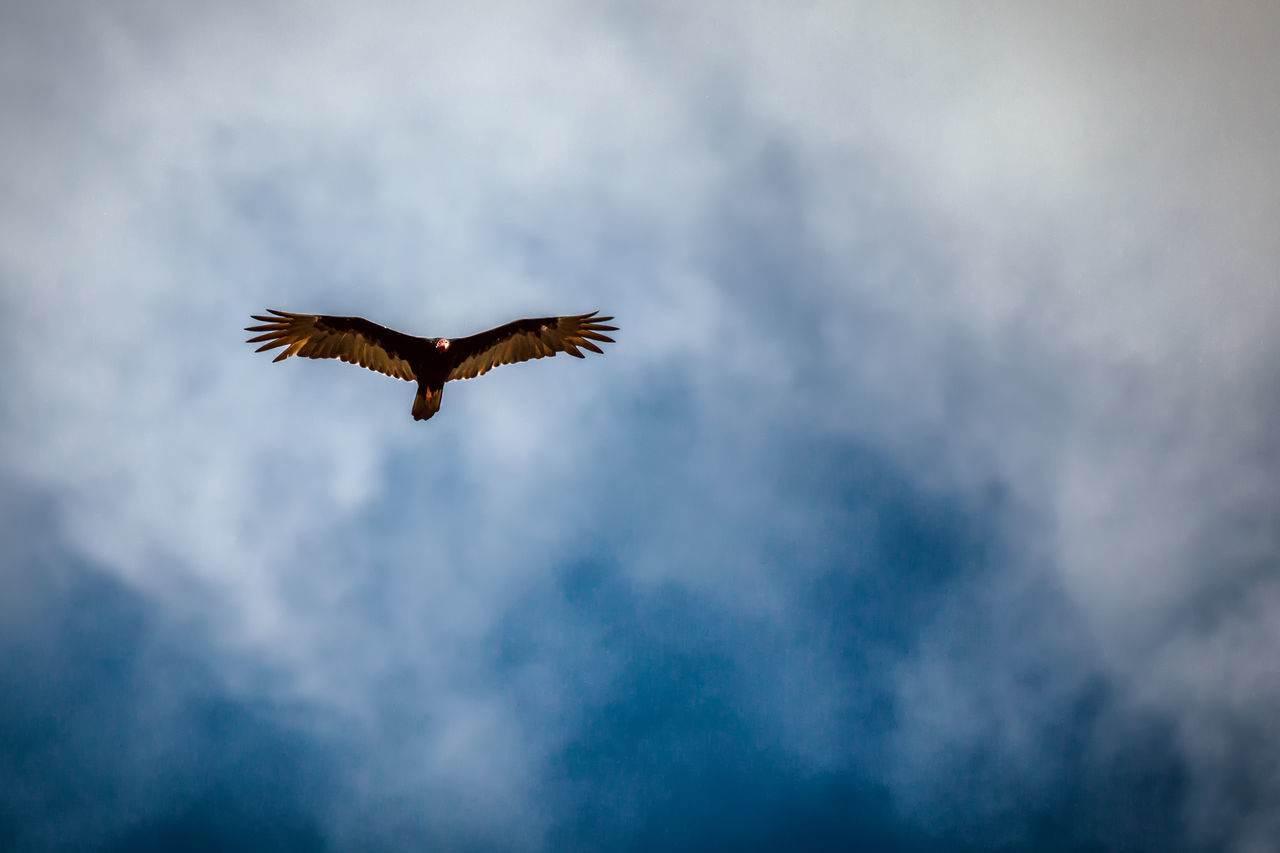 Turkey vulture flying in a blue sky of Cuba Animal Themes Animal Wildlife Animals In The Wild Beauty In Nature Bird Caribbean Bird Cloud - Sky Flying Low Angle View Nature Outdoors Scavenger Spread Wings Turkey Buzzard Turkey Vulture Vulture