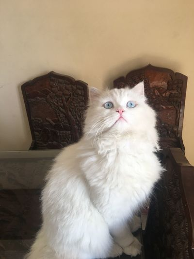 Domestic Cat Pets Domestic Animals Mammal Indoors  Animal Themes Persian Cat  No People One Animal