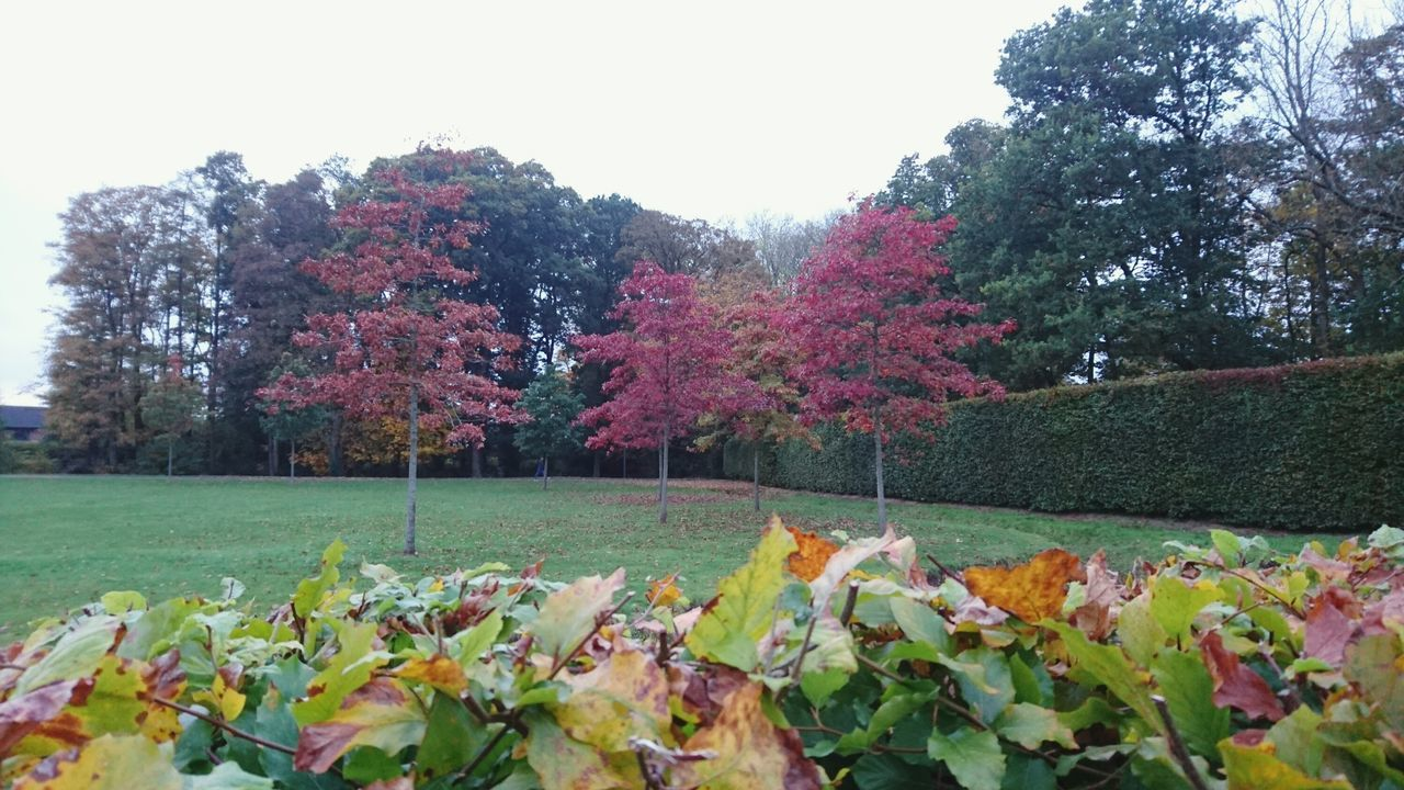 Autumn's trinitatian camouflage at the Castle Grounds! Antrim Castle Garden Castle Grounds Autumn Autumn Colors Autumn🍁🍁🍁 Autumn Collection Autumn Colours Autumn Trees Leaves Tree Trees Green Leaves Red Leaves County Antrim Fun