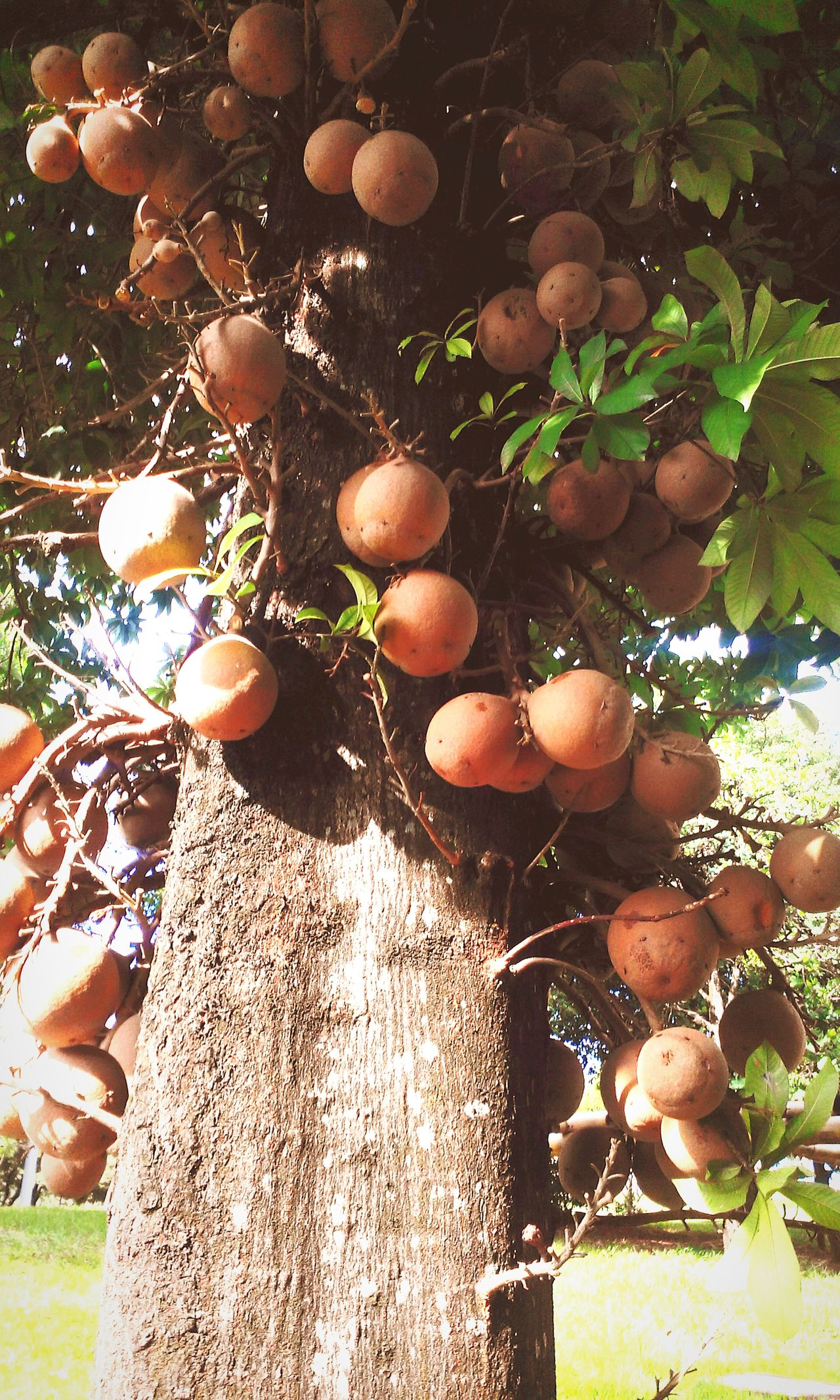 Cannonball Tree_collection  Couroupita Guianensis