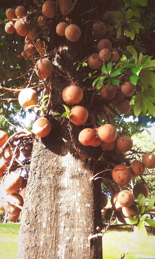 Cannonball Tree_collection  Couroupita Guianensis