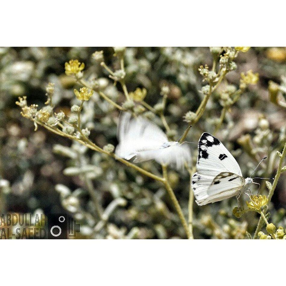 صورة فراشة حشرة فراشات حشرات macro ماكرو focus capture insect ksa Saudi السعودية زهور زهره flowers plant plants green