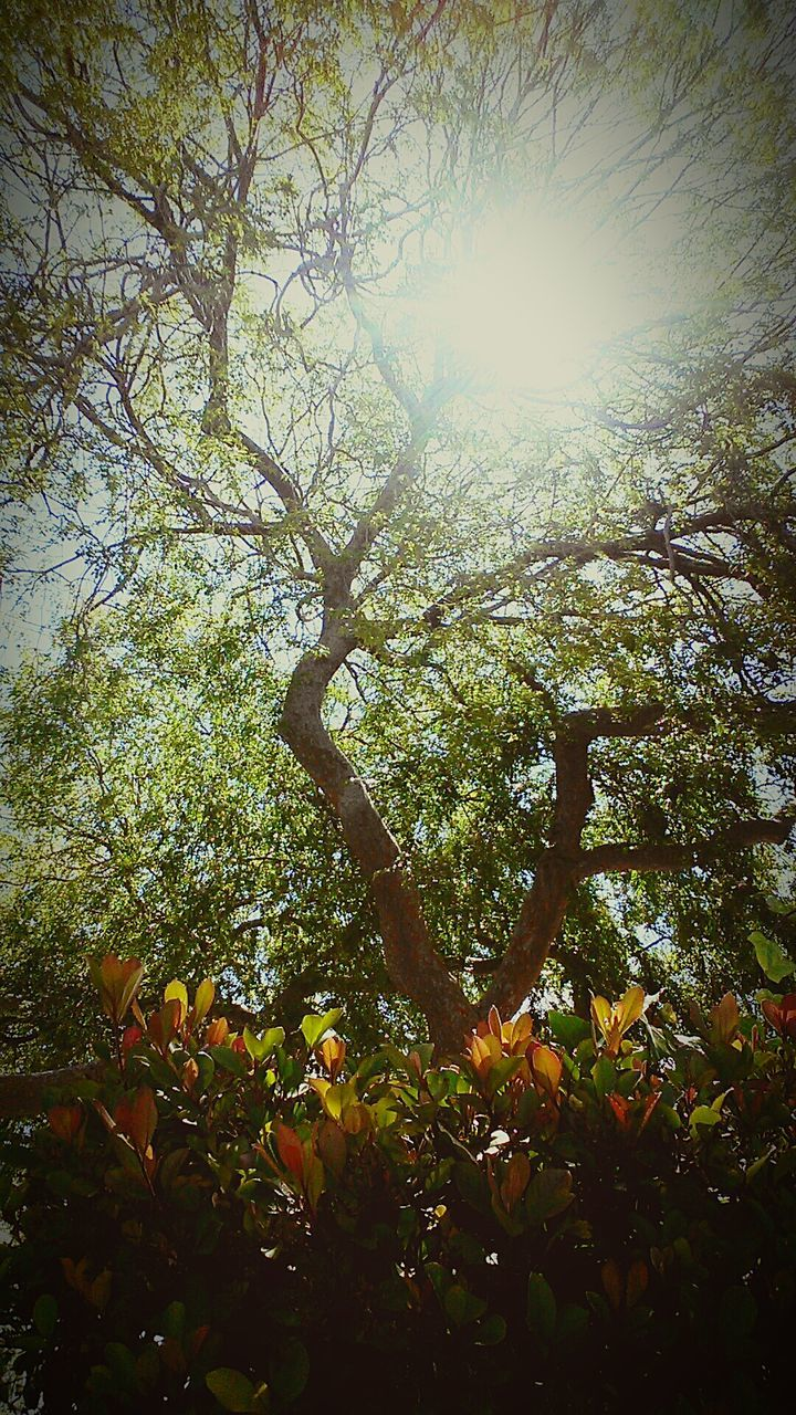 tree, nature, branch, fruit, growth, no people, day, beauty in nature, outdoors, sunlight, orange tree, low angle view, leaf, sky, freshness