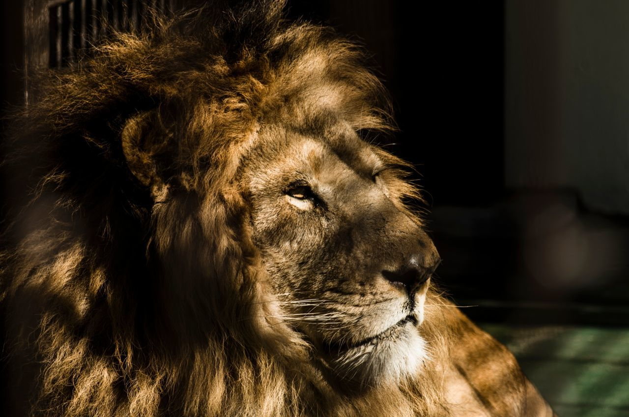 Beautiful stock photos of lion, Animal Themes, Animals In Captivity, Animals In The Wild, Cage
