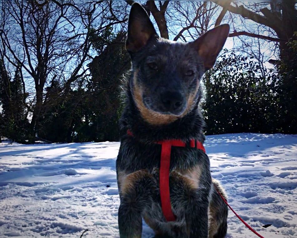 Domestic Animals Blue Heeler ACD  Australian Cattle Dog Snowing Pets Looking At Camera Dog Snow Winter Portrait Cold Temperature Tree No People Outdoors Day Nature Close-up