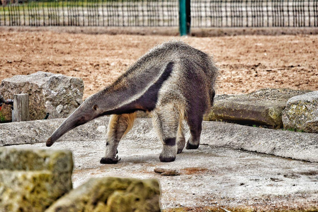 Taking Photos Photography EyeEm Nature Lover Zoo Animals  Blackpool Zoo Anteater Big Nose