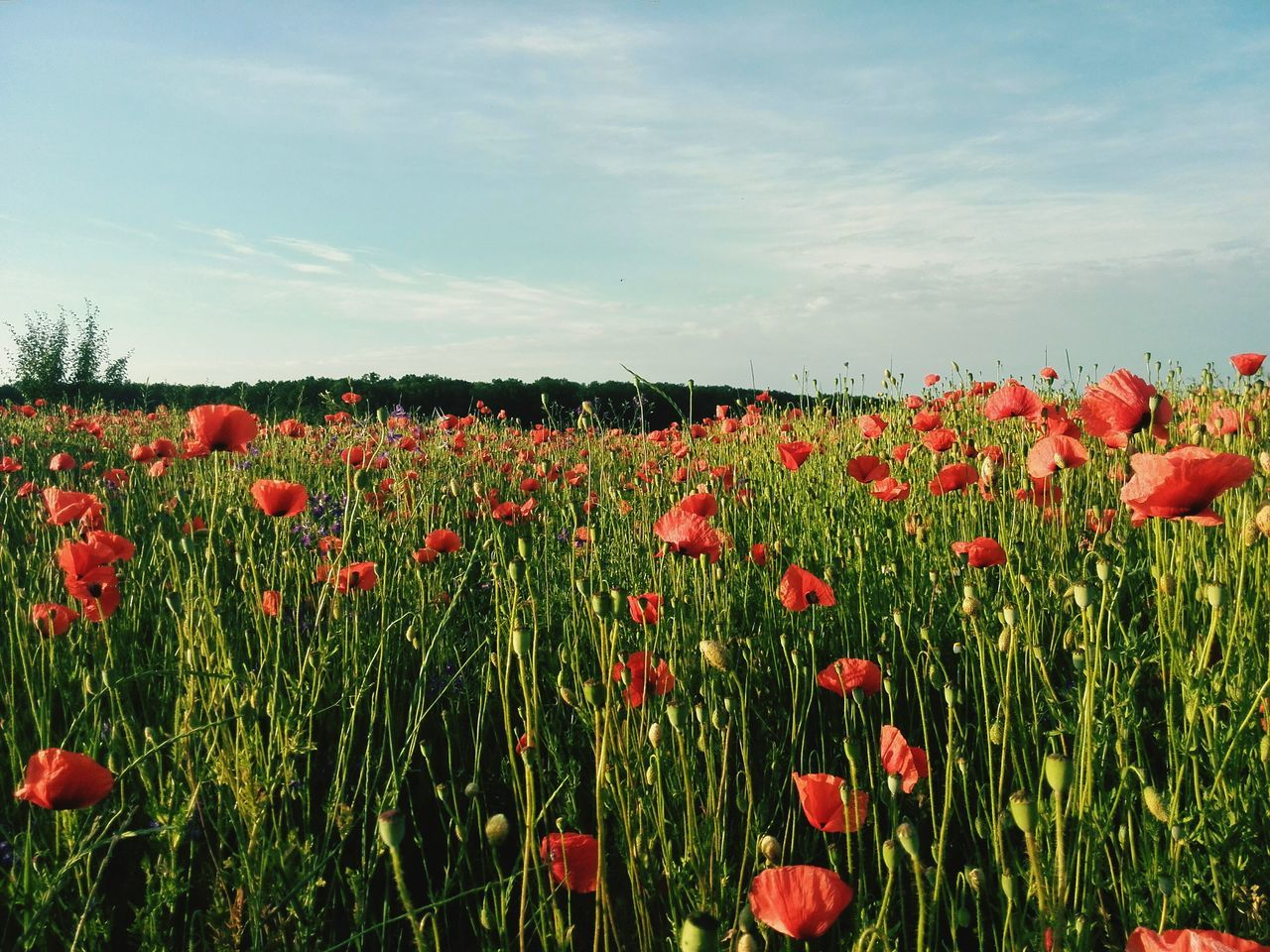 growth, flower, nature, field, beauty in nature, poppy, red, plant, blossoming, fragility, spring, blooming, summer, freshness, petal, outdoors, no people, tranquility, sky, beauty, day, flower head