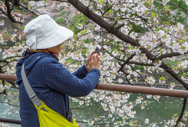 Old woman using smartphone during cherry blossoms at Chidorigafuchi, a popular sakura viewing spot in Tokyo, during Japan's annual cherry blossom festival. Attraction Bloom Blossom Cherry Chidorigafuchi Chiyoda Destination Flowers Japan Leisure Local Old Park People Sakura Season  Sightseeing Smartphone Spring Strolling Tokyo Tourism Tourist Travel Woman