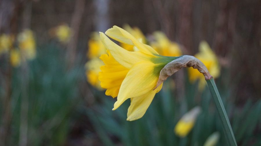 Beauty In Nature Blooming Botany Close-up Daffodils Depth Of Field Flora Flower Flower Head Focus On Foreground Fragility Freshness Growing Growth Leaf National Emblem Nature New Life No People Petal Plant Selective Focus Springtime Wales Yellow
