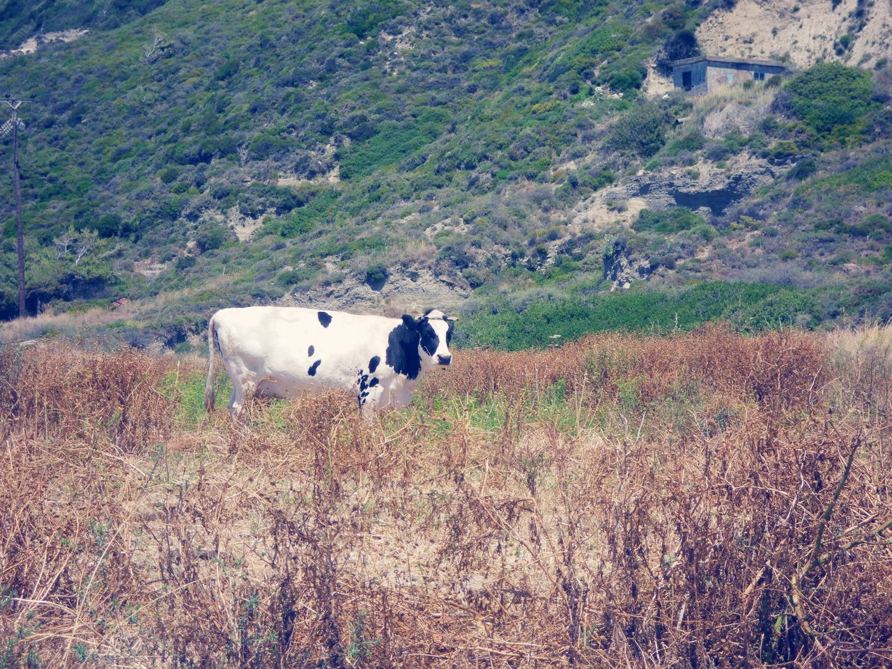 Cow Animal Themes Cattle Nature Landscape Farm Animal Outdoors Tree Beauty In Nature Grazing Grass