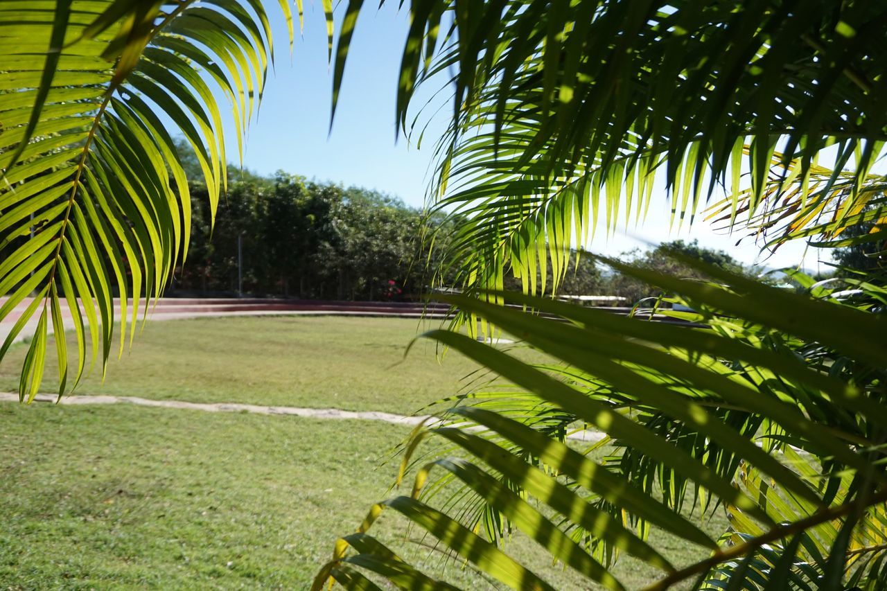 palm tree, tree, growth, green color, grass, nature, no people, tranquility, outdoors, day, beauty in nature, leaf, sky