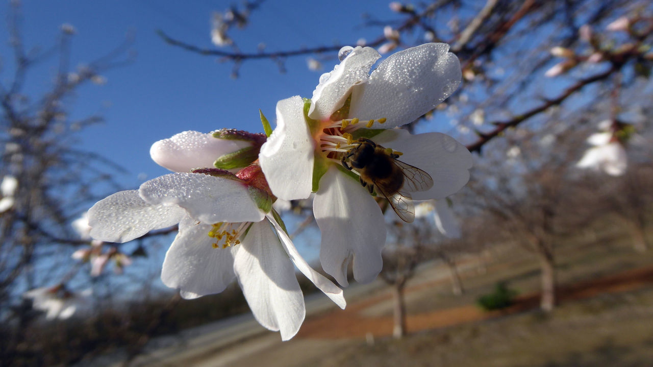 bees happily dipping in apple blossom Almond Tree Apple Tree Beauty In Nature Blooming Blossom Branch Cherry Blossom Close-up Day Flower Flower Head Focus On Foreground Fragility Freshness Growth Nature No People Outdoors Petal Pollen Springtime Stamen Tree Twig White Color