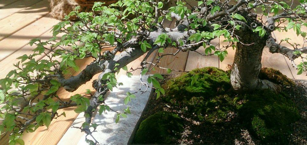 С выставки бонсая. растения деревья бонсай Trees Bonsai Plants