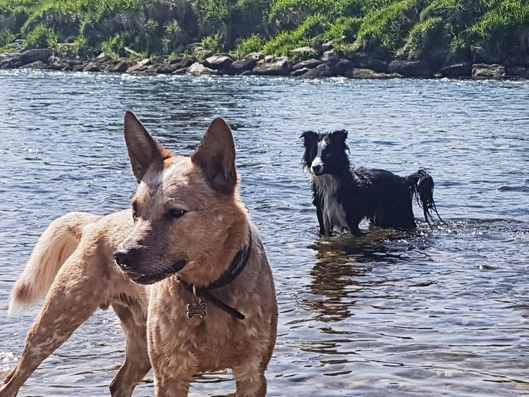 Dog Water Mammal Pets Domestic Animals Animal Themes Outdoors No People Lake Nature Day Dogs Of EyeEm Border Collie Cattledog
