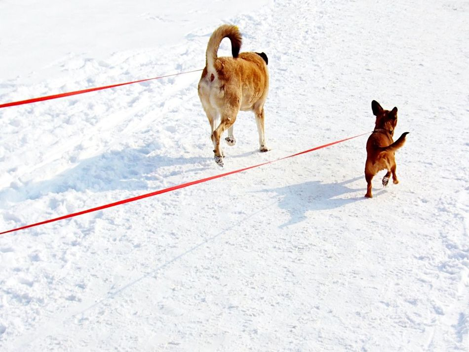 Dog Winter Snow Cold Temperature Domestic Animals Pets Outdoors Dogs Leash Leashed Walk Day